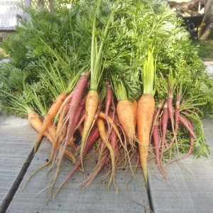HON Urban Farm Carrots